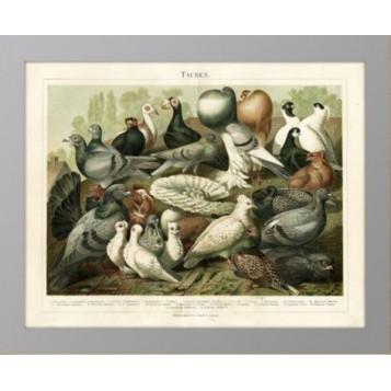 Старинная литография 1886 года Породы голубей