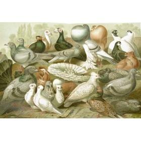 Старинная литография 1886 года в подарок Породы голубей