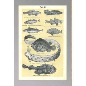 Старинная гравюра Рыбы 3, антиквариат в подарок