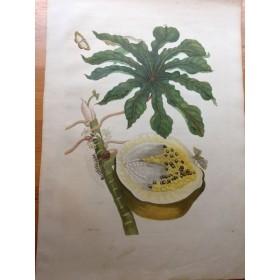 Антикварная гравюра в подарок, купить гравюру 16 века  Ботаника