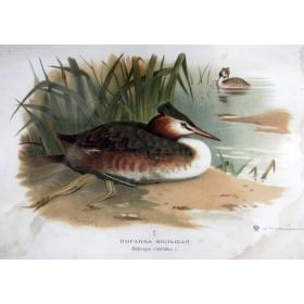 043 Старинная гравюра фауна России купить - птица Поганка большая, тов-во И. Н. Кушнерев и Ко