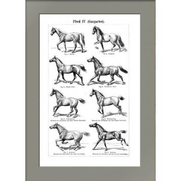 1896 Аллюры лошадей